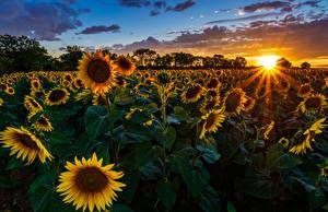 Картинка Поля Подсолнечник Рассветы и закаты Лучи света Солнце Природа