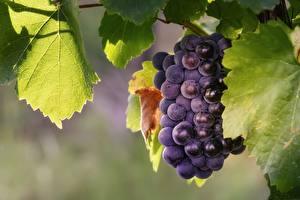Фотографии Виноград Крупным планом Листья Продукты питания