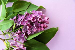 Картинки Сирень Цветной фон Фиолетовый цветок