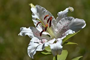Фотография Лилия Крупным планом Белая Цветы