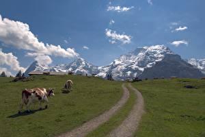 Картинка Горы Коровы Швейцария Луга Трава Тропинка Альпы Jungfrau Природа