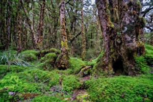 Фотография Новая Зеландия Лес Дерева Взгляд Мха Fiordland