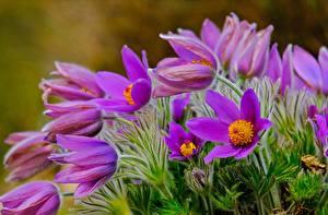 Фотография Прострел Фиолетовая цветок