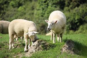 Фотография Овцы Траве Размытый фон Две животное