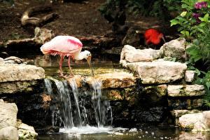 Фотографии Камень Птицы Ручеек Розовая Roseate spoonbill Животные