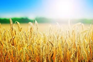 Обои Лето Поля Пшеница Колосок Боке