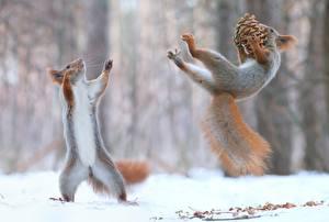 Картинки Зима Белки Снега Размытый фон Вдвоем Шишки Прыжок Смешные Позирует Играет животное