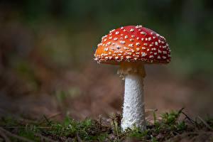 Фотография Мухомор Грибы природа Вблизи Боке Природа