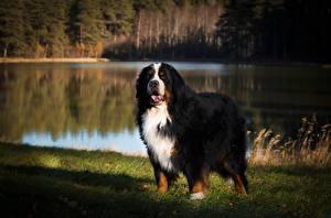 Фотография Бернская овчарка Собака Траве Смотрит Боке животное