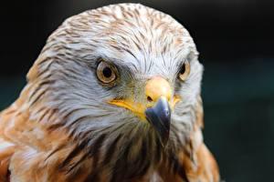 Картинки Птица Вблизи Ястреб Голова Клюв Взгляд Desert Buzzard животное