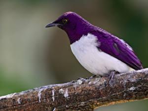 Фотография Птицы Ветка Фиолетовая Sturnus животное