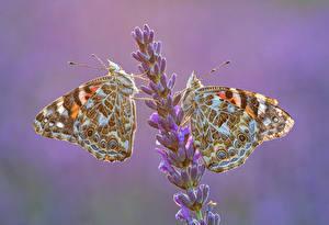 Обои Бабочка Насекомые Лаванда 2 Vanessa cardui