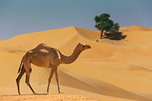 Фотографии Верблюды Пустыня Сбоку Животные