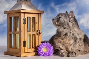 Картинка Кот Астры Цветы