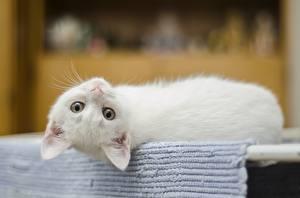 Картинка Кошки Котят Лежат Белых Смотрит Животные
