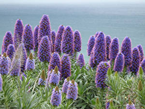 Картинки Крупным планом Фиолетовых Echiums Цветы
