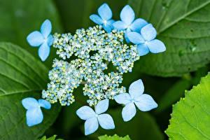 Обои для рабочего стола Вблизи Гортензия Боке Голубой цветок