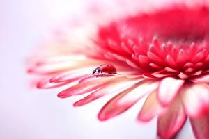 Фотографии Вблизи Божьи коровки Герберы Лепестков цветок