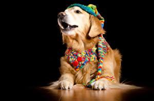 Картинки Собака Золотистый ретривер На черном фоне В шапке Шарф животное