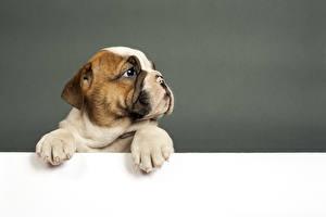 Картинки Собака Щенки Бульдога Шаблон поздравительной открытки