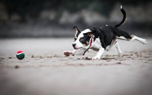 Картинки Собаки Бегущий Мячик Играют Песка Животные