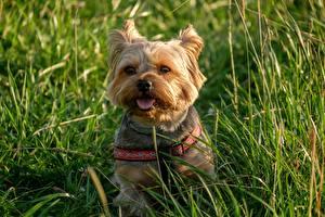 Фотография Собака Йоркширский терьер Сидящие Трава Взгляд Языком животное