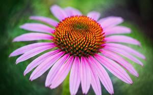 Картинки Эхинацея Вблизи цветок