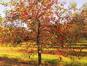 Картинка Сады Вишня Дерева Ветки Природа