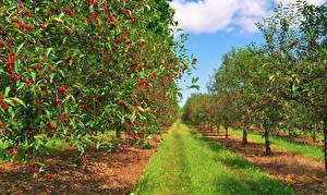 Обои Сады Вишня Деревьев Трава Природа