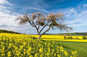 Картинки Германия Поля Рапс Цветущие деревья Весна Небо Hessen