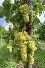 Картинки Виноград Виноградник Ветвь Продукты питания