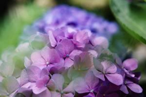 Картинки Гортензия Боке Фиолетовая цветок