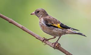 Картинки Птенцы Птицы На ветке Goldfinch