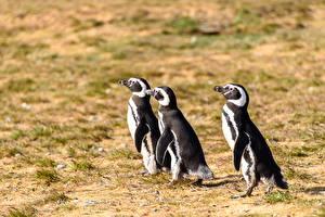 Обои для рабочего стола Пингвины Птица Втроем животное