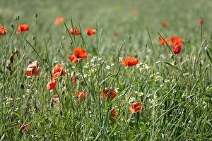 Фотография Маки Траве Красных Природа