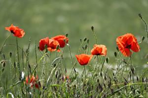 Картинка Маки Траве Красных Бутон