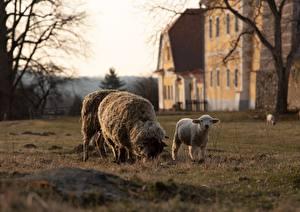 Обои Овцы Детеныши Траве Животные