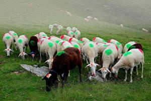 Фотография Овцы Много Стадо животное