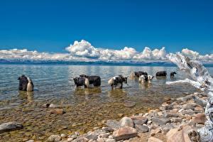 Фотография Камни Озеро Бык Wild yak