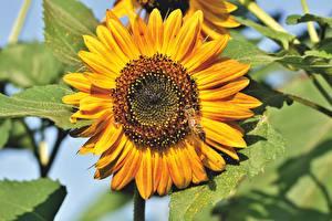 Обои Подсолнечник Вблизи Пчелы Насекомые Желтый цветок