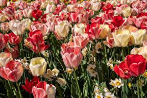 Фотографии Тюльпан Много цветок