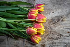 Фотографии Тюльпаны Доски цветок