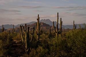 Обои Америка Горы Кактусы Four Peaks, Arizona Природа