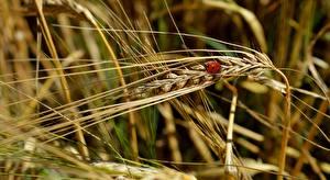 Фотография Пшеница Божьи коровки Крупным планом Колоски Размытый фон Природа