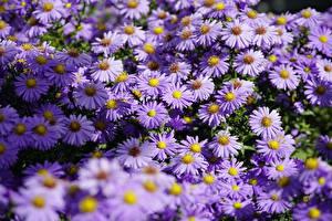 Обои Астры Много Фиолетовый Shrub Aster Цветы