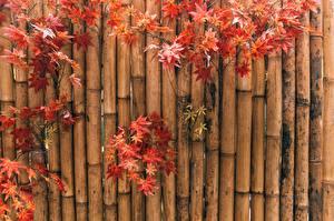 Картинки Осенние Бамбук Клёновый