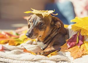 Фотография Осень Собаки Листва Смотрит животное