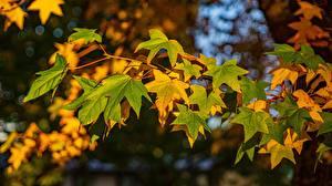 Обои Осень Листва Клёна Ветки Природа