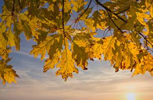 Фотография Осень Дуб На ветке Лист