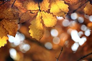 Картинки Осенние Дуб Лист Боке